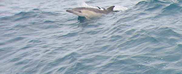 Young dolphin comes out of the water to have a look at us.