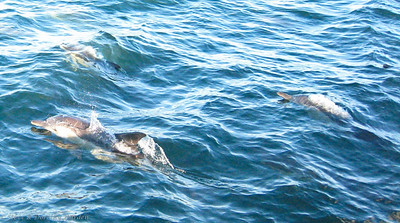 The dolphins were all smiles as they played in ADAGIO's bow waves.