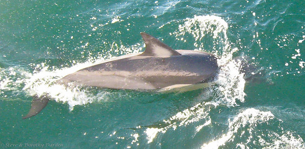 Interesting markings on this dolphin's dorsal fin.