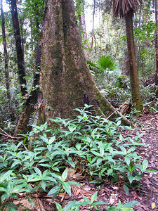 Buttressed tree trunks stabilize the trees which have shallow roots.