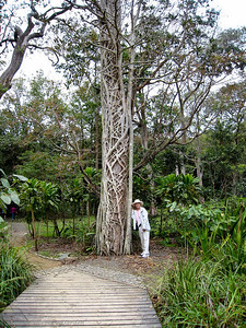 Dorothy shows you the work of a Strangler Fig tree.