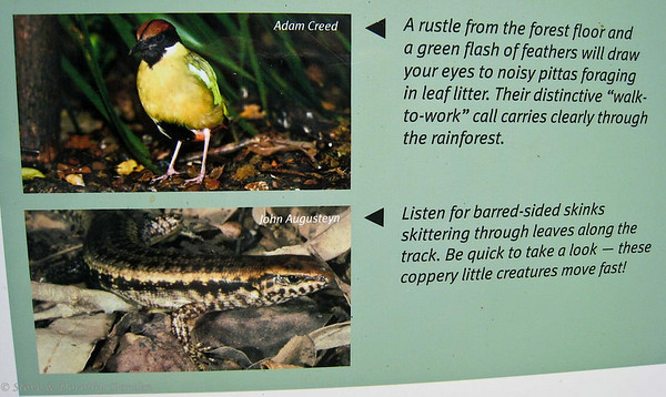 A Noisy Pitta flashed its irridescent green wings through the forest as a skink scurried under the leaves.