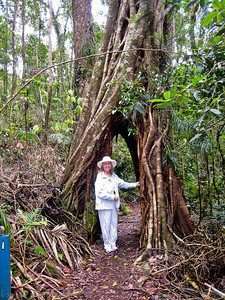 "This large tree has succomed to the Strangler Fig, leaving a ""doorway"" across the trail."