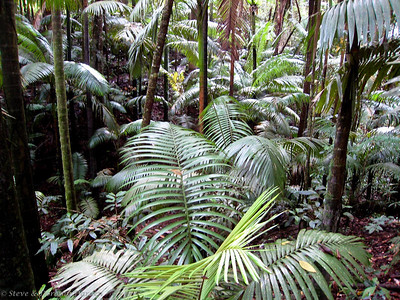 Native palms formed most of the forest understory.