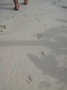 The Dingo tracks on the beach were fresh from this morning.