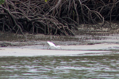 A Little Egret searched the sandy shore at an outgoing tide.