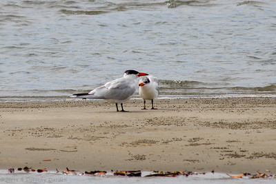 A mother Caspian Tern was tutoring her chick.