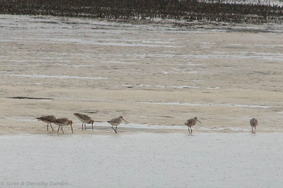 A flock of what I think might be Godwits flew in.