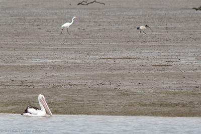 The Pelican, Egret and Ibis feeding on the opposite shore.