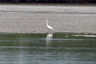A Great Egret graced the opposite shore.
