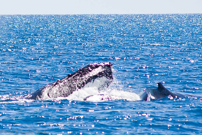 A Humpback, mouth wide open, lunges through schooling fish. Her calf is on the right, learning the technique.