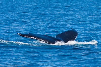 Humptack whale flukes have ragged trailing edges.