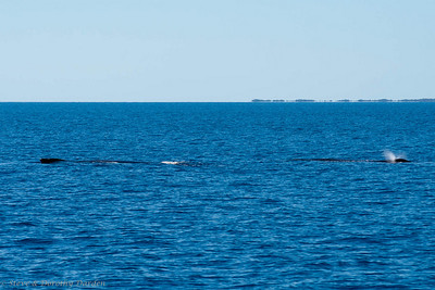 Two humpback whales resting