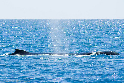 We can see the top of the humpback's head and mouth to the right.