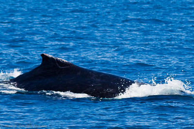 This humpback's dorsal fin has been cut by boat propellers.