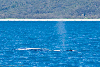 Mother humpback and calf. The calf is spouting