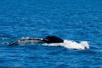 Humptack whale dives.
