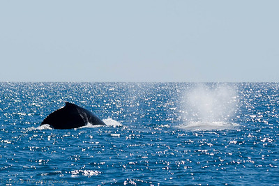 Two humpback whales. Their name is derived from the curving of their back when diving.