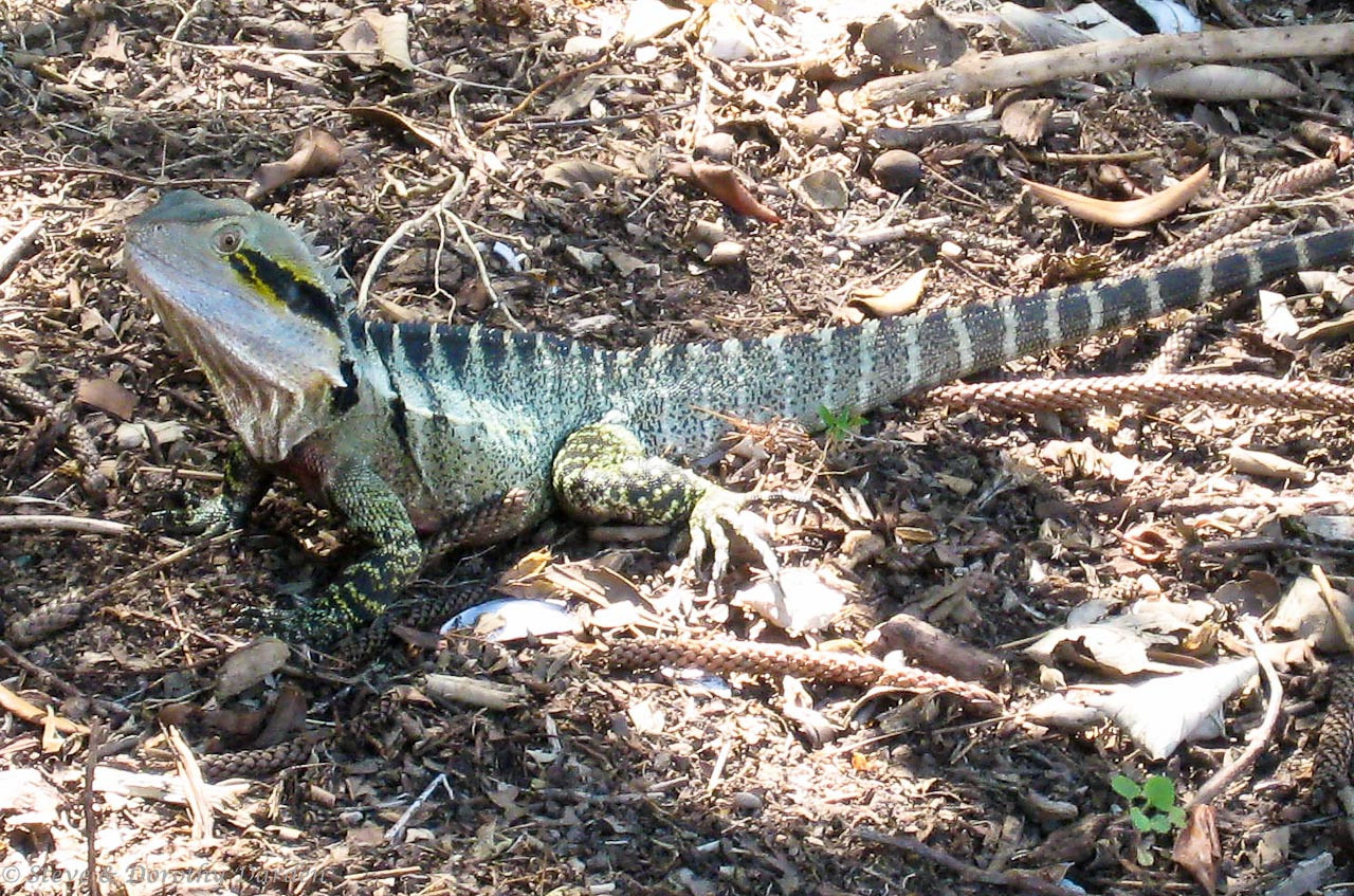 An Eastern Water Dragon was basking in the sun along the bike trail.