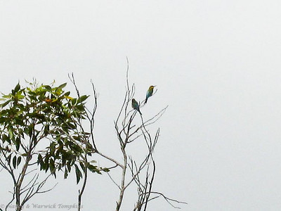 It was nesting time for this pair of Rainbow Bee-eaters.