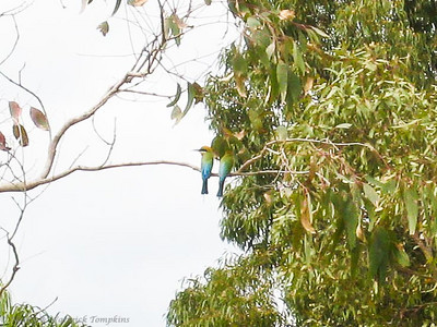 A pair of Rainbow Bee-Eaters. The female is on the right, with shorter, thicker tail streamers.