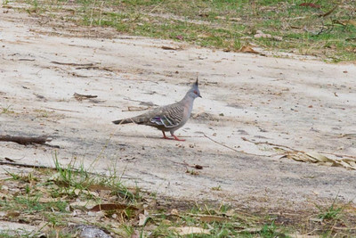We saw Crested Pigeons near the shoreline.