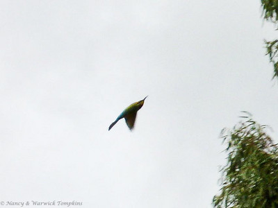 Rainbow Bee-eater twists and turns in pursuit of fast-flying insects.