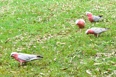 The Galah is a pink and grey cockatoo, very pretty, and a clown.