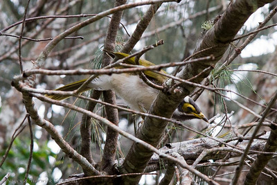 The immature Blue-faced Honeyeater has a yellow face.