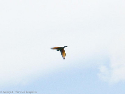 Orange wings against the sky and tail streamers flying, this female is an acrobatic bird!