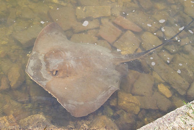 A large stingray came to the opposite side of the wharf.