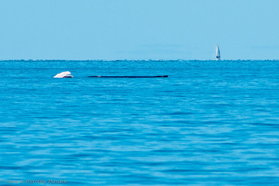 Notice the two small white pectoral fins of the baby humpback whale on the left.  The mother is the long black shape.
