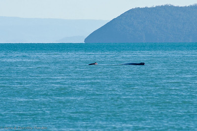 """""""Mum"""" and calf humpback whales - Steve spotted the pair about 300 meters dead ahead between Shaw and Lindeman Islands. The calf was splashing while """"mum"""" rested or slept."""