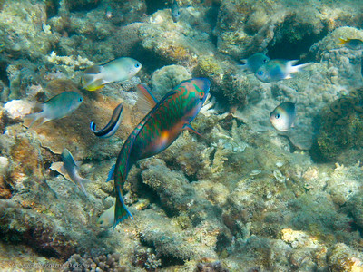 Parrotfish at a cleaning station. Black striped fish is the cleaner.