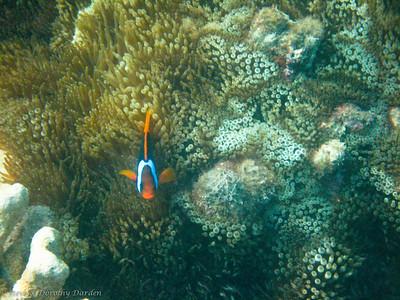 Pugnacious Dusky Anemonefish