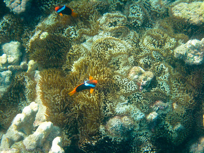 The Dusky Anemonefish were not shy.