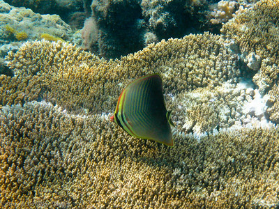 I have not identified this orange-nose butterfly fish.