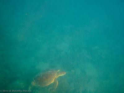 As I swam back to the boat, a Green turtle swam up towards me.