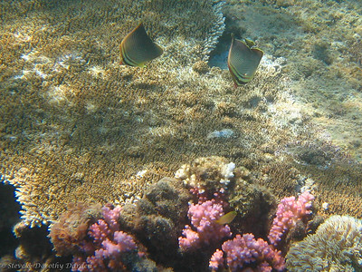 Butterfly fish are usually seen in pairs.