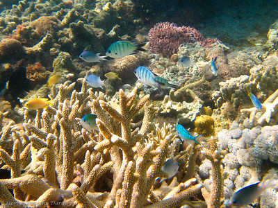 Damselfish of all colors swam among the corals.
