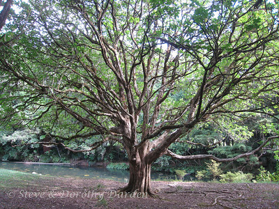 This enormous Puriri tree is one of our favorite New Zealand natives.