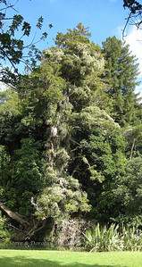 Epiphites in an enormous totara tree on the shore of the Hatea River