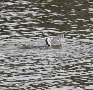 Cormorant caught a flounder in its beak.