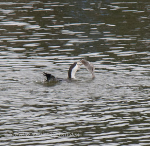 Cormorant flipped the flounder over
