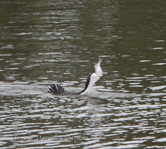 Cormorant starts to swallow the flounder head first.