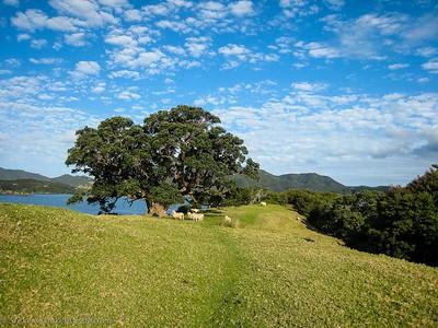 Lambs beneath Pohutukawa tree