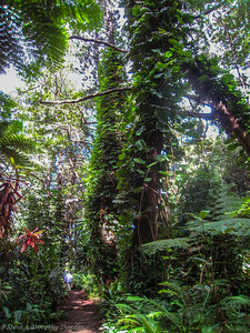 Huge vines in the rain forest climbed Kaori trees and tall tree ferns.