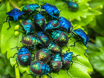 Unidentified beetles were clustered on leaves at Ouamaeo.