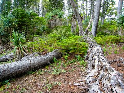 Fallen trees provide soil for the new seedlings.