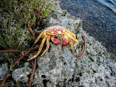 A local crab was not quite large enough to eat.